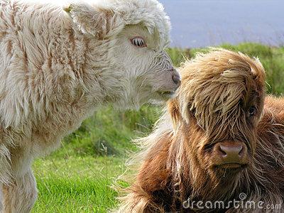 Angus, Touro mocho e emo!