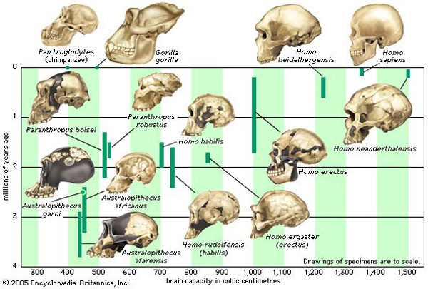 cranial evolution